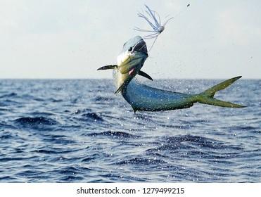 Mahi Mahi or Dolphin fish jumping in Costa Rica