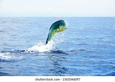 mahi mahi sport fishing big jump