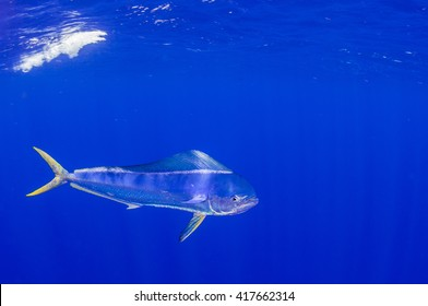 Mahi-Mahi or Dorado AKA dolphin fish in the open ocean.