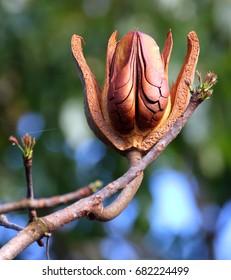 Mahogany Flower Trinidad