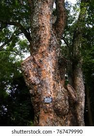 Mahogany is a kind of wood—the straight-grained, reddish-brown timber of three tropical hardwood species of the genus Swietenia, indigenous to the America. Swietenia macrophylla