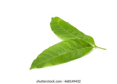 Mahogany leaf on white background