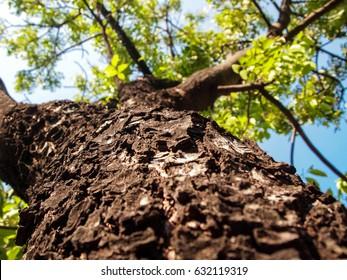 Mahogany Tree bark cracked for the background