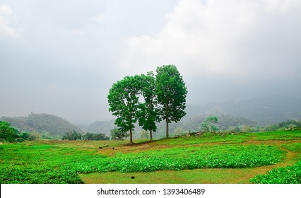 Mahogany trees in a  row. Surrounded with vibrant green color grasses in a foggy and cloudy skies background.