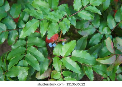 Mahonia aquifolium or holly-leaved barberry evergreen shrub
