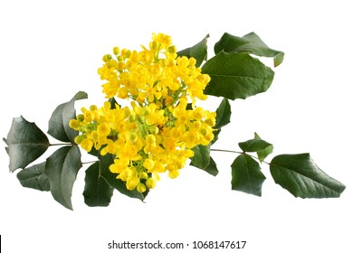 Mahonia aquifolium isolated on white background