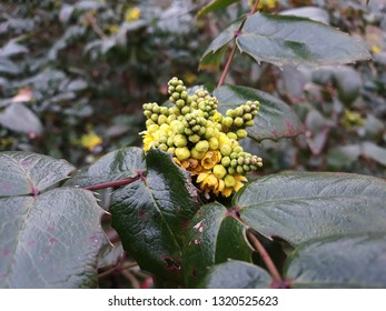 Mahonia aquifolium (Oregon grape) also, called Holly-leaved Barberry is a species of flowering plant in the family Berberidaceae.