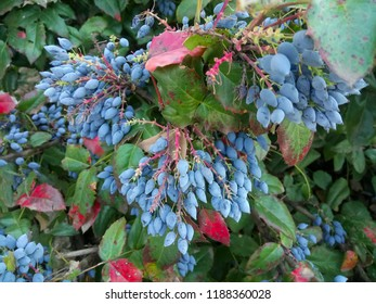 Mahonia aquifolium. Oregon Grape. Blue berries on bush. Botanical garden
