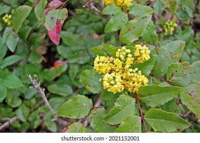 Mahonia aquifolium, Oregon grape or holly-leaved berberry  is an evergreen shrub, native to western North America