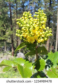 A Mahonia aquifolium, Oregon Grape, plant in full bloom with medium sized racemes of yellow flowers