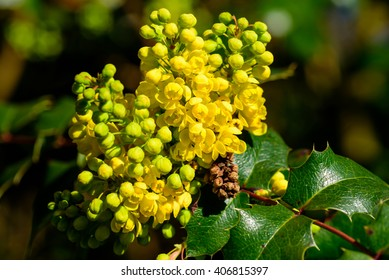 Mahonia aquifolium, the Oregon grape, is staring to bloom with its lovely and colorful, yellow flowers.