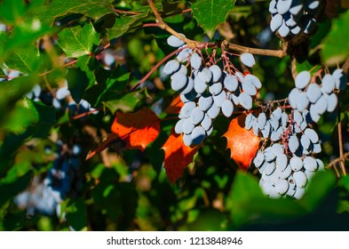 Mahonia aquifolium (Oregon-grape or Oregon grape) bush with blue berries