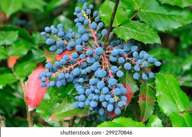 Mahonia aquifolium (Oregon-grape or Oregon grape) is a species of flowering plant in the family Berberidaceae, native to western North America.