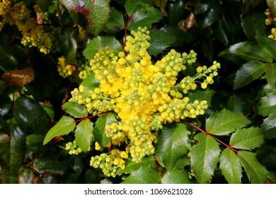 Mahonia aquifolium, Yellow Blossom in Spring, Detail