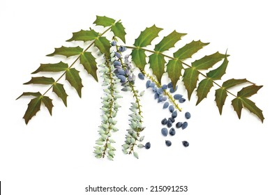 Mahonia flowers and fruits (Mahonia aquifolium)