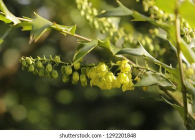 Mahonia is a yellow flowering plant blooming in the winter