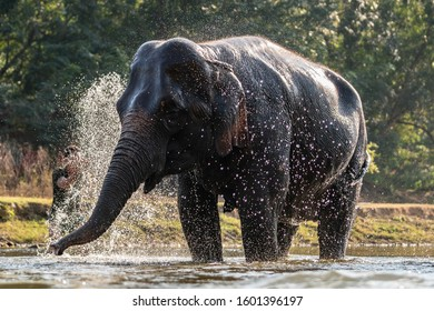 The mahout is bathing his elephant in river.