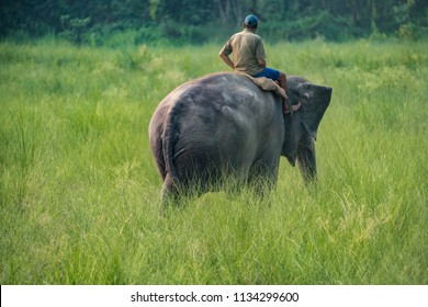 Mahout or elephant rider riding a female elephant. Wildlife and rural photo. Asian elephants as domestic animals