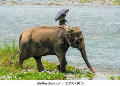 Mahout or elephant rider riding a female elephant in the river. Chitwan National Park, Nepal. Summer 2018. Wildlife and rural photo. Asian elephants as domestic animals