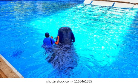 The Mahout is taking elephants to swim in the swimming pool for elephants to exercise. And for tourists to see that the elephant can swim.