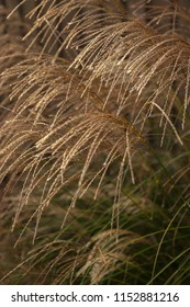 Maiden Grass (Miscanthus Sinensis) backlit by morning sun in the fall / autumn.