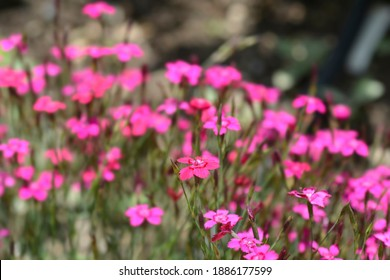 Maiden pink Brilliant - Latin name - Dianthus deltoides Brilliant