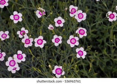 Spink images stock photos vectors shutterstock maiden pinks also called ladys cushion and spink fire and ice dianthus deltoides mightylinksfo Choice Image