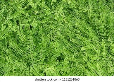 maidenhair fern, adiantum pedatum background