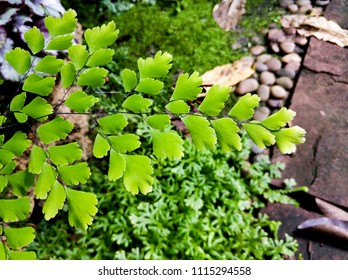 maidenhair fern in the garden