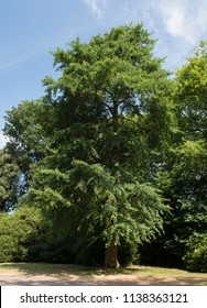 Maidenhair or Fossil Tree (Ginkgo biloba) in a Garden in Rural Somerset, England, UK