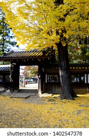 Maidenhair tree (Gingko) with full yellow leaves in autumn. This maiden hair tree is located in a quiet pagoda in Japan and taken in an autumn afternoon.