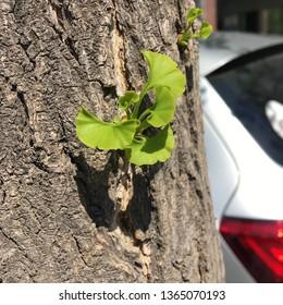 maidenhair tree ginkgo biloba ginkgo biloba tree