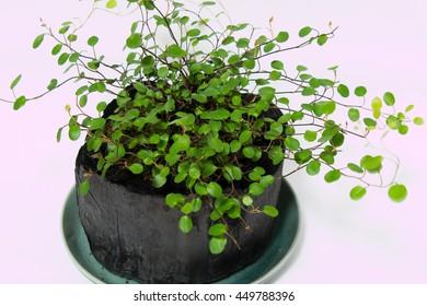 Maidenhair Vine in Carbon pot