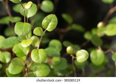 maidenhair vine's small cute round leaf closeup (Muehlenbeckia complexa)