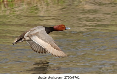 A mail redhead duck flies lower over open water.