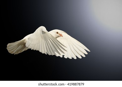 mail white dove flying bird, a symbol of hope, a symbol of peace, biblical historyisolated on black with hotspot