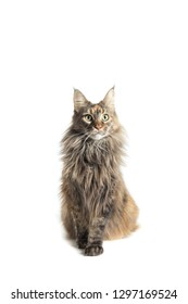 main coon female with attentive look aimed at the camera