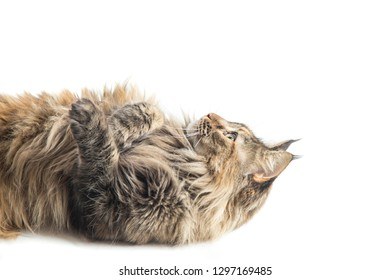 main coon female with careful look while playing