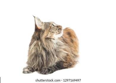 main coon female with careful look