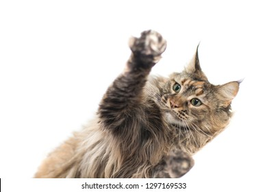 main coon female with careful look while playing by lifting the paws