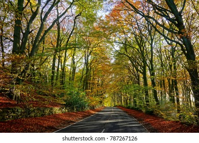 The main Highway from Gloucester to Painswick under a canopy of Beech trees, Fagus sylvatica, with late afternoon sunlight filtering through the trees in Autumn, The Cotswolds, Gloucestershire UK