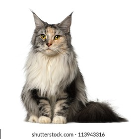 Maine Coon, 2 years old, sitting against white background