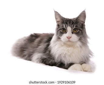 Maine Coon adult cat laying isolated on a white background