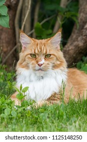 Maine coon big red cat