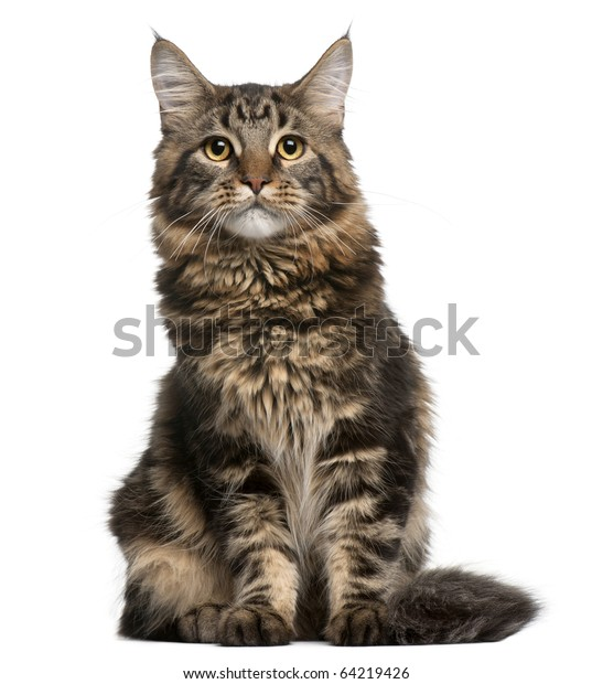 Maine Coon Cat 6 Months Old Stock Photo (Edit Now) 64219426