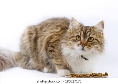Maine Coon - cat eats