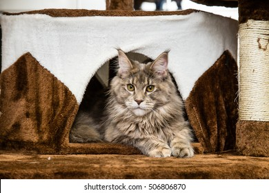 Maine Coon cat in her fluffy brown white colored house