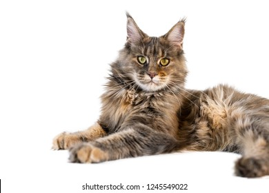 Maine coon cat isolated. Long haired Maine coon cat has a tabby fur color and bushy tail.