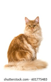 Maine coon cat isolated on white