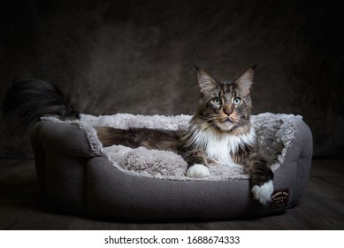 Maine Coon cat lies in the lair, dark background